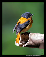 The Black & Orange Flycatcher - A Near Threatened Species