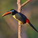 Peru: Lettered Aracari by spiderhunters