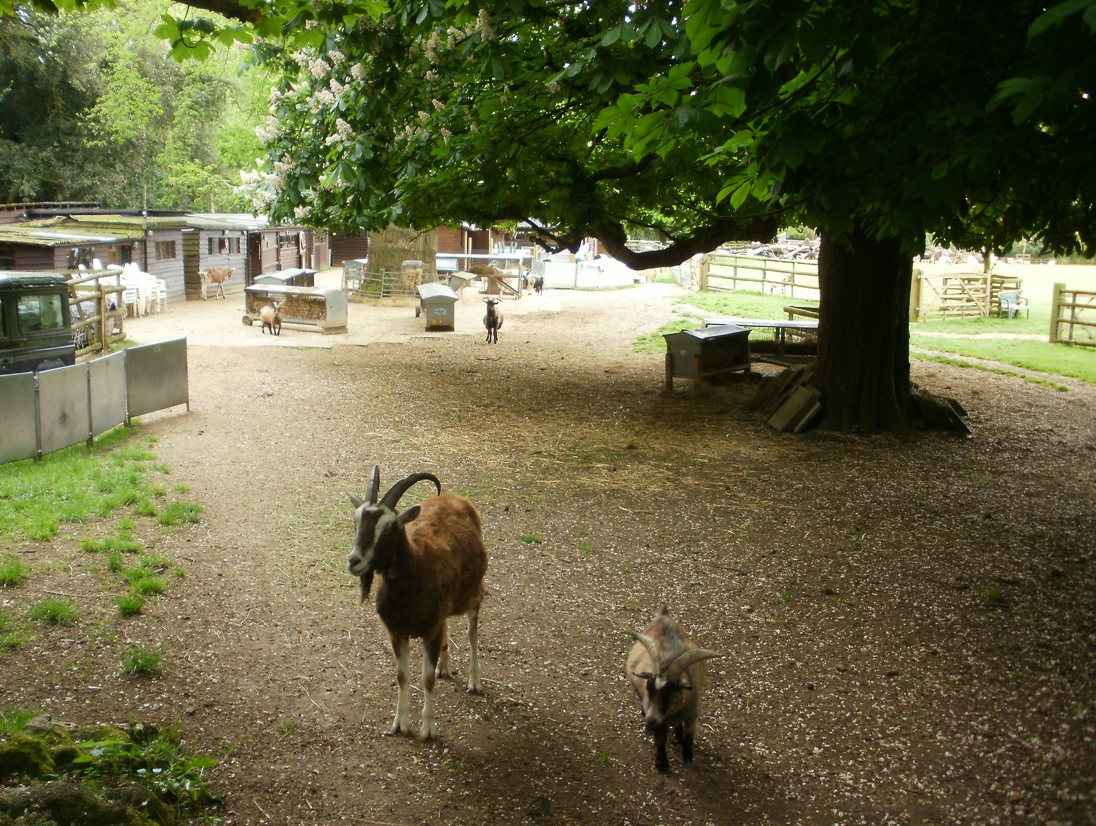 Buttercups goat sanctuary