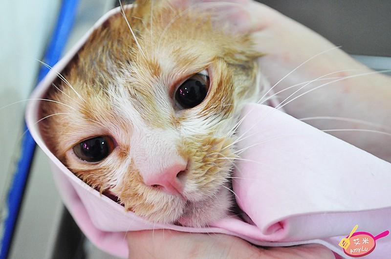 洗澡特寫-台中貓旅館瑋特