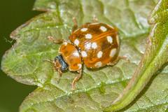 HolderCream-spot Ladybird- Calvia 14-guttata