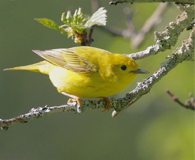 Yellow-Warbler-37w