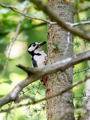 Great Spotted Woodpecker with beetle