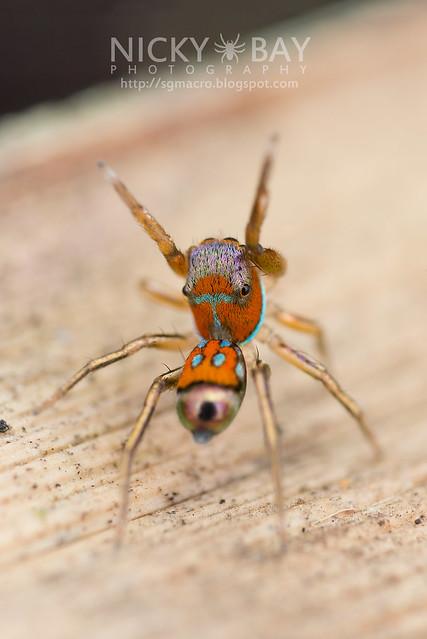Jumping Spider (Siler sp.) - DSC_1984