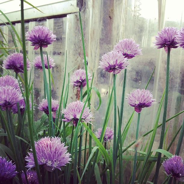 Be mine, onion flower baby.