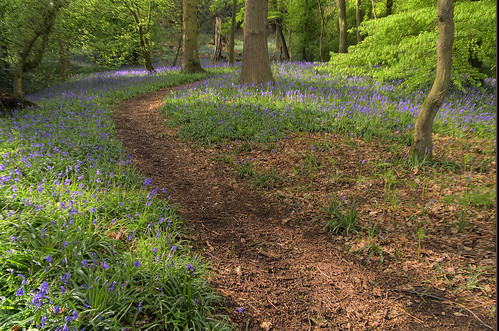 bluebells at Darley Abbey