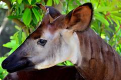 deer(0.0), white-tailed deer(0.0), bongo(0.0), animal(1.0), zoo(1.0), okapi(1.0), nature(1.0), fauna(1.0), close-up(1.0), giraffidae(1.0), wildlife(1.0),