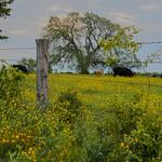 Texas Wildflowers, April 2013, Trees