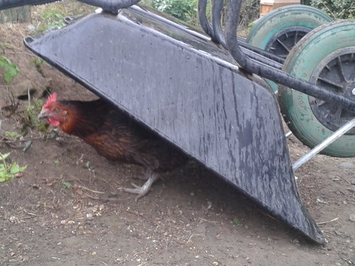 hen sheltering May 13
