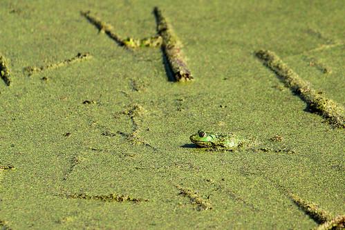 Frosch....