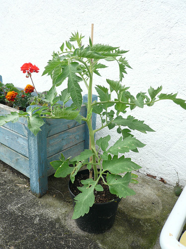 Italian Plum tomato