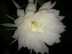 moonlight cactus(0.0), plant(0.0), epiphyllum anguliger(0.0), flower(1.0), white(1.0), flora(1.0), epiphyllum oxypetalum(1.0), epiphyllum crenatum(1.0), cactus family(1.0), petal(1.0),
