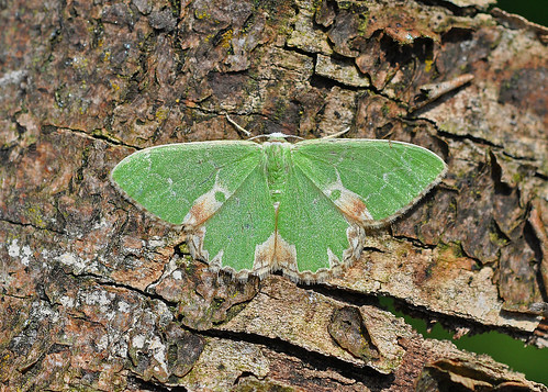 1667 Blotched Emerald Comibaena bajularia Blean Woods by Kinzler Pegwell