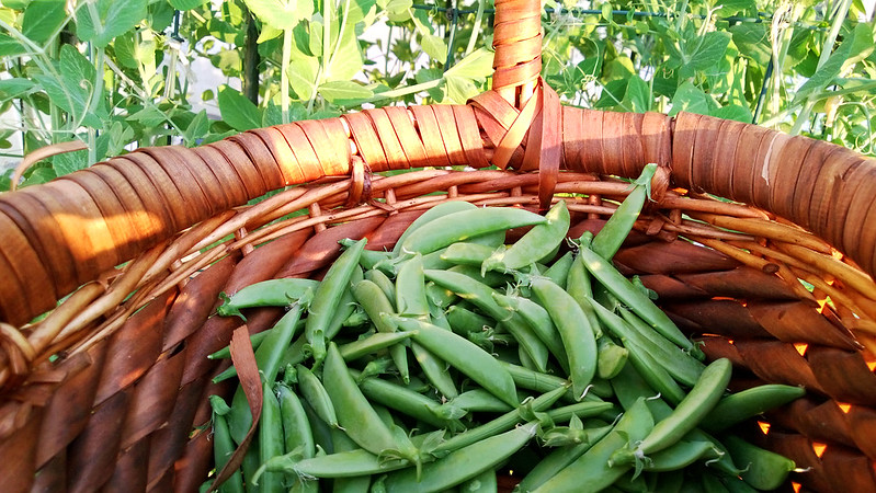 Sugar Snap Peas 3