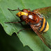 Large hoverfly, Volucella zonaria female #2 by Lord V