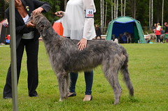 hound(0.0), polish greyhound(0.0), galgo espaã±ol(0.0), glen of imaal terrier(0.0), afghan hound(0.0), dog sports(1.0), animal sports(1.0), dog breed(1.0), animal(1.0), silken windhound(1.0), dog(1.0), sighthound(1.0), scottish deerhound(1.0), sports(1.0), pet(1.0), lurcher(1.0), irish wolfhound(1.0), conformation show(1.0), carnivoran(1.0), borzoi(1.0),