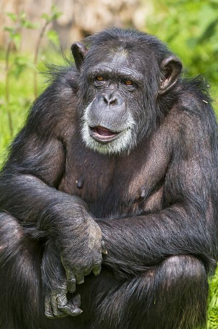 Chimpanzee Monkey Sitting · Free photo on Pixabay  |Chimp Sitting