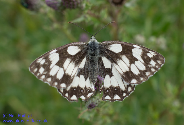 marbled white butterfly-10