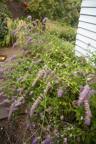 Rainy Day agastache blue blazes 2