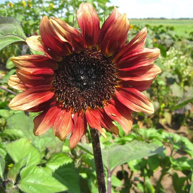 Gardens Of Eagan Sunflower Flickr Photo Sharing
