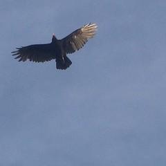 perching bird(0.0), animal(1.0), bird of prey(1.0), falcon(1.0), eagle(1.0), wing(1.0), vulture(1.0), buzzard(1.0), bald eagle(1.0), accipitriformes(1.0), bird(1.0), flight(1.0), condor(1.0),