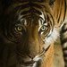 Eyes of the Tiger by Longleaf.Photography