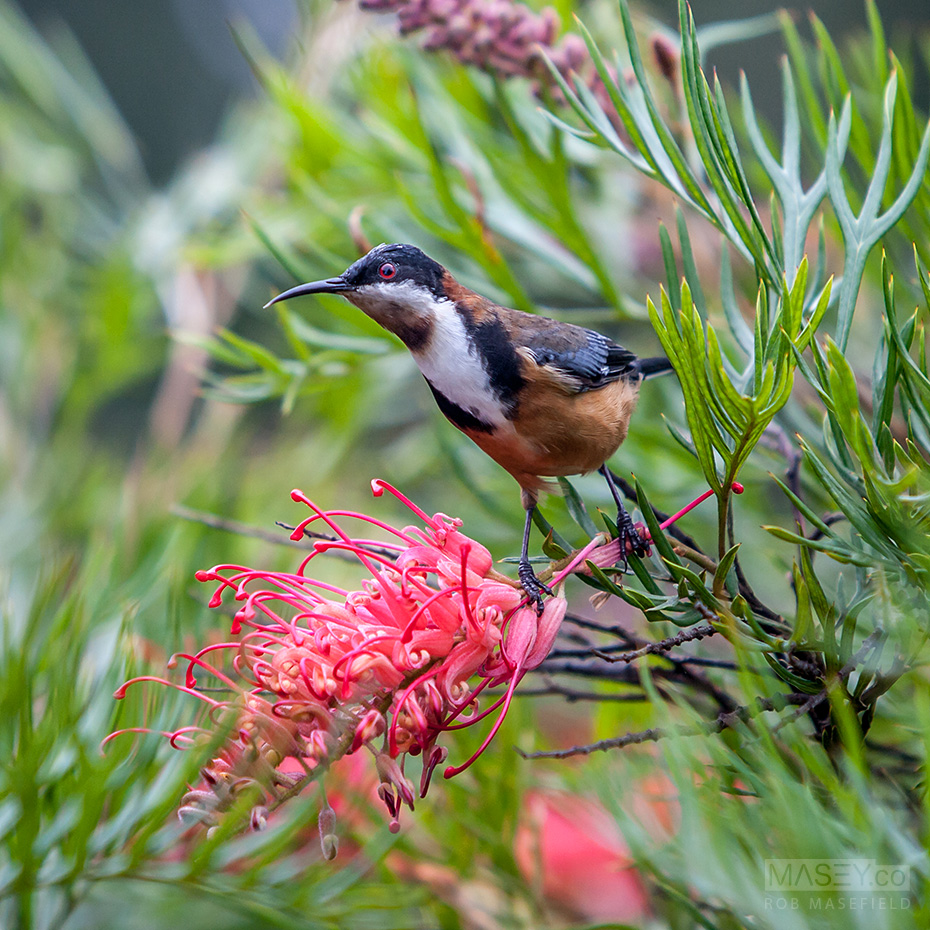 An eastern spinebill attends to a grevillea in full bloom.