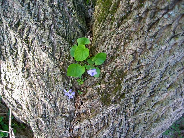 Violet in Tree