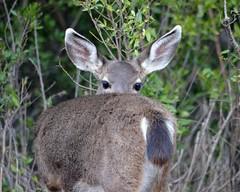 Deer Hiding Poorly