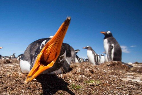 gentoo penguin by Derek Pettersson