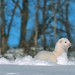 """One of our Ferrets, """"Crazy Baby"""" enjoying the snow"""