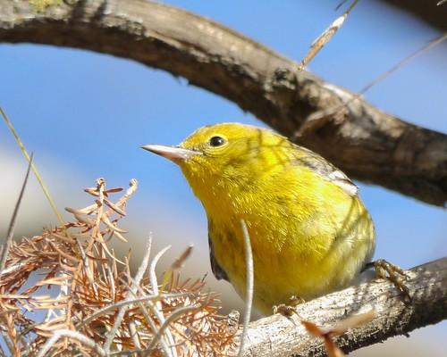 Pine Warbler - 2