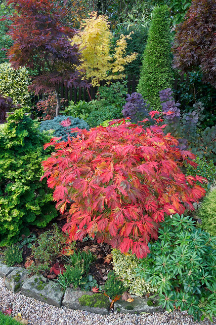 Buy Acer japonicum 'Vitifolium' Large Leaf Full Moon ... |Full Moon Maple Leaf