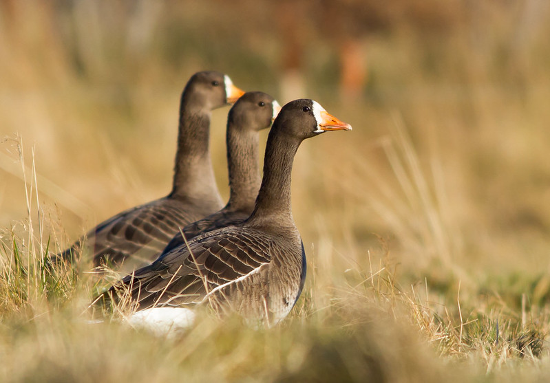 Blesgæs - White-fronted Goose - Anser albifrons