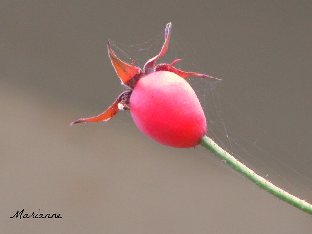 Rainbow - Red rosehip