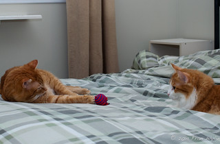 Two Orange Cats and a Toy
