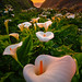 Calla Lilies by Ryan Engstrom Photography