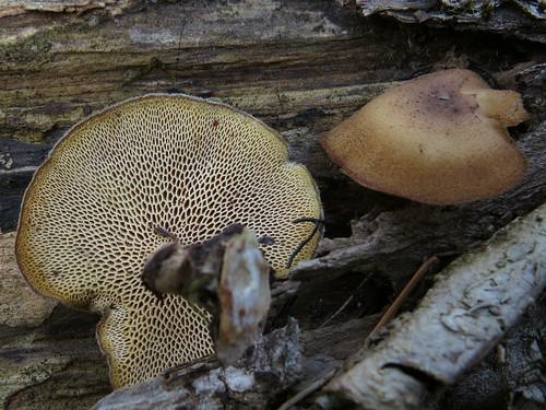 Трутови́к зи́мний (лат. Polyporus brumalis) — несъедобный гриб-трутовик из рода Polyporus семейства Polyporaceae. Википедия Photo by Kari Pihlaviita on Flickr Автор фото: Kari Pihlaviita