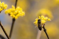 Honey bee and sanshuyu