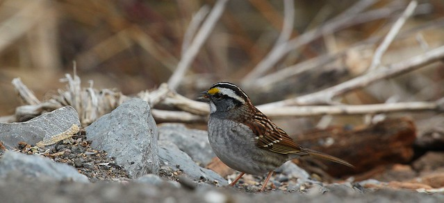 White-throated Sparrow Forages