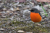 Flame Robin 2014-04-21 (_MG_4245)