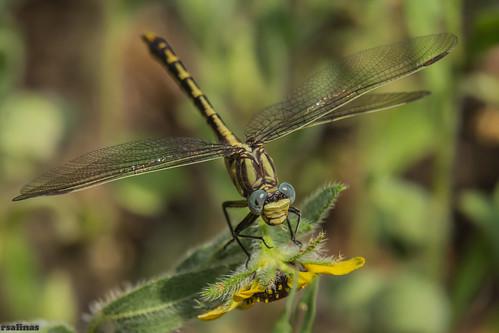 austin texas unitedstates dragonflies a77 odonates clubtails