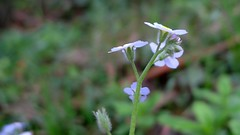 Forget-me-not, Myosotis sylvatica flowers