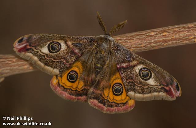 male emperor moth-11