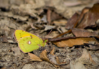 Желтушка шафрановая / Dark Clouded Yellow (Common Clouded Yellow) / Colias croceus / Жълтушка / Postillon