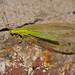 Small photo of Green Lacewings (Chrysoperla sp.)