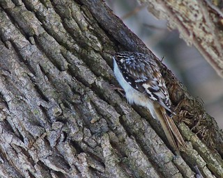 Tiny Bird----Brown Creeper