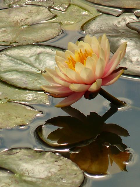 R - 2015 first flower water lily u2027u2027u20272015u7b2cu4e00u6735u7761u84eeu2027u2027u2027P2050444