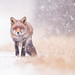 Stock photo: snowstorm-red-fox