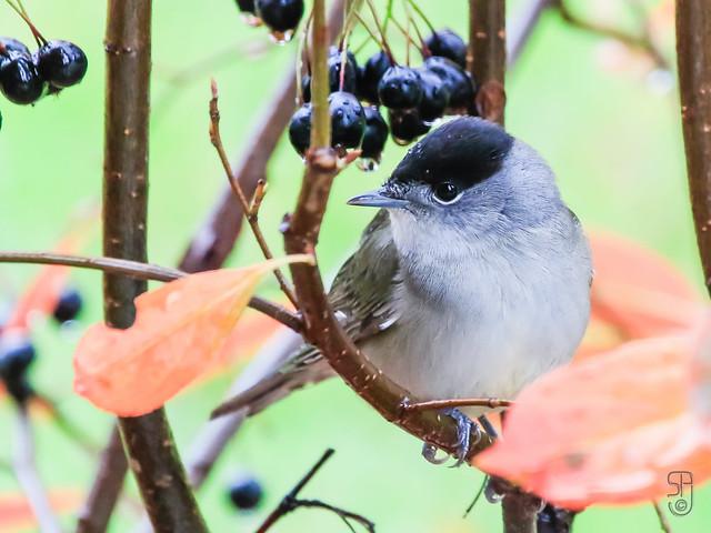 Male Blackcap (Sylvia atricapilla)-6411